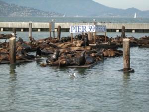 Seehundekolonie am Pier 39